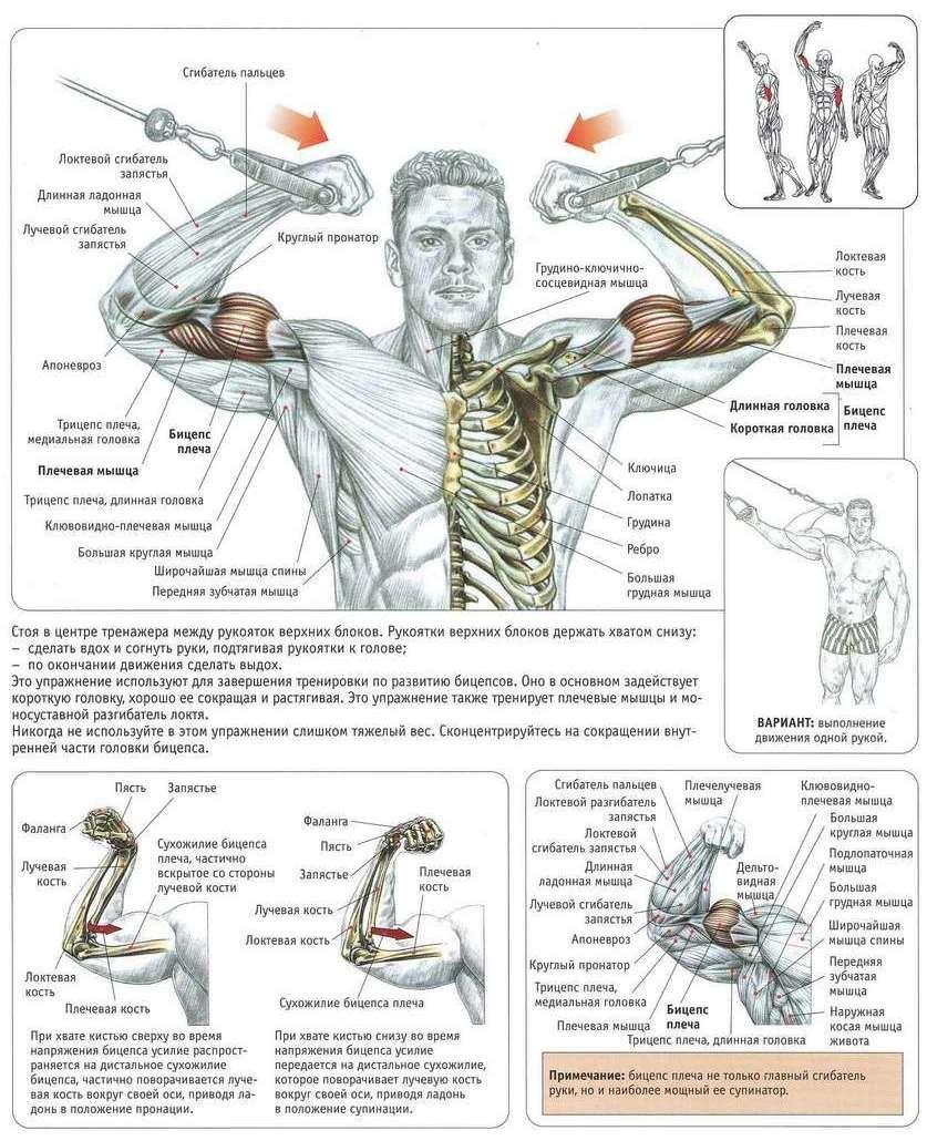 упражнения для мышц с картинками с объяснениями